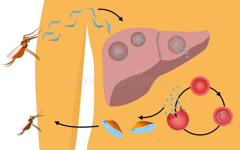 Cycle de vie de malaria au corps humain illustration stock