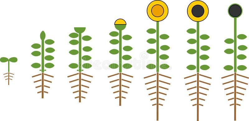 Cycle de vie stylisé de tournesol Étapes de croissance de graine à l'usine fleurissante et fructifère avec des racines illustration stock
