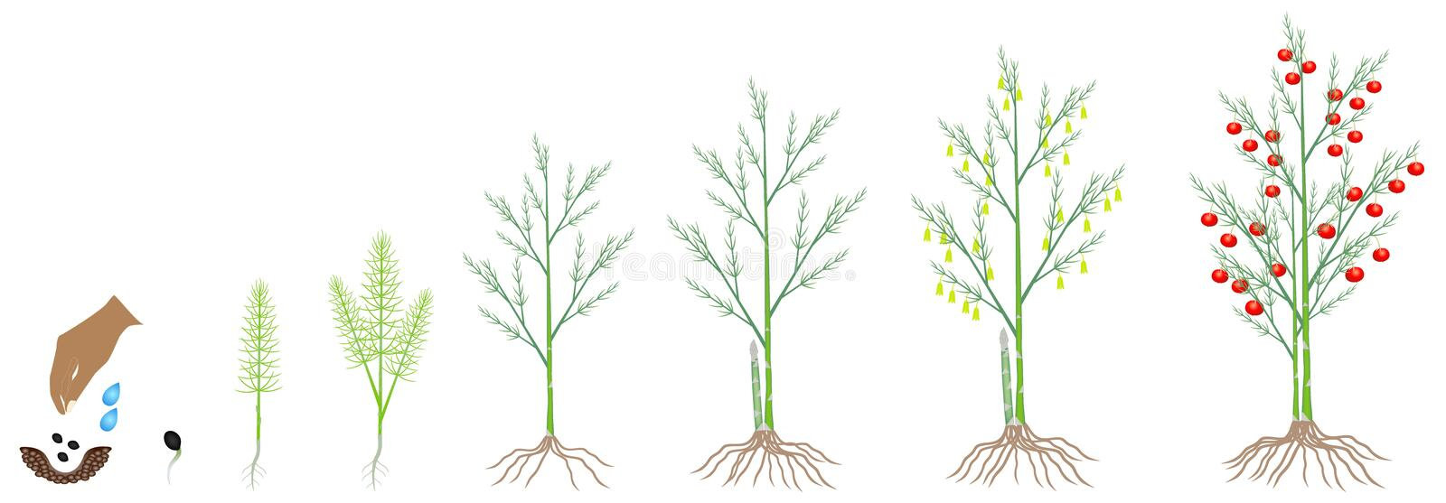 Cycle of growth of a asparagus plant on a white background. Cycle of growth of a asparagus plant on a white background, beautiful illustration vector illustration