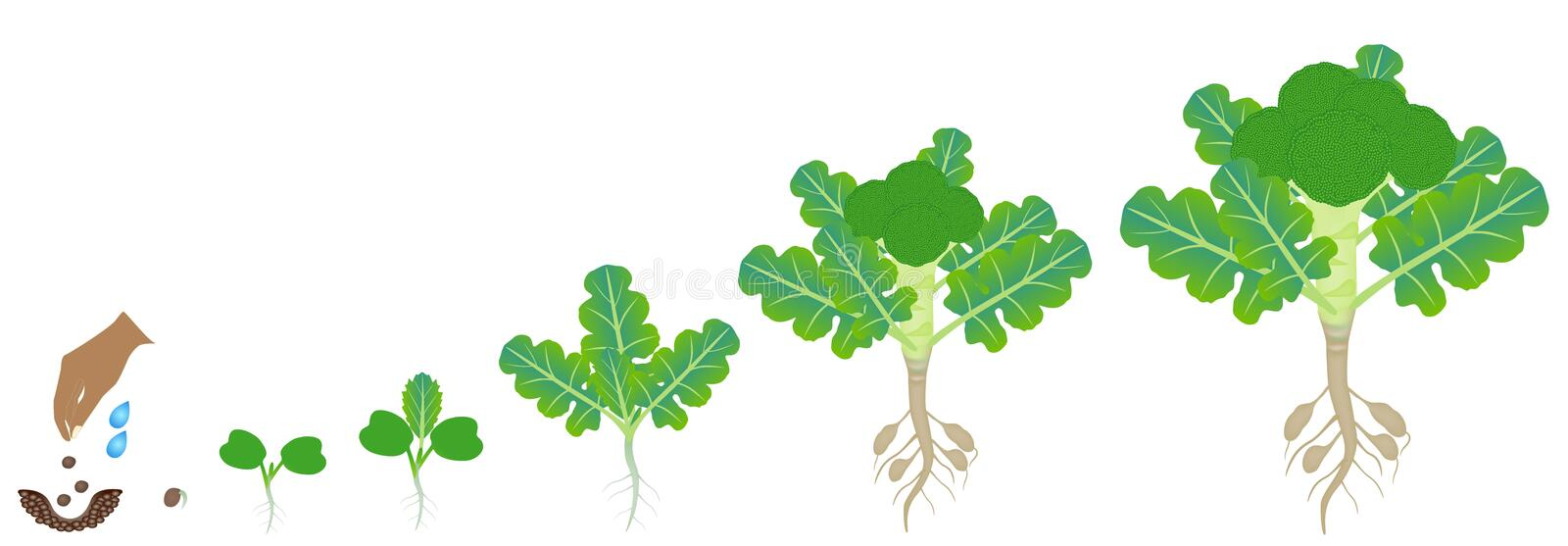 Cycle of growth of broccoli plant on a white background. stock illustration