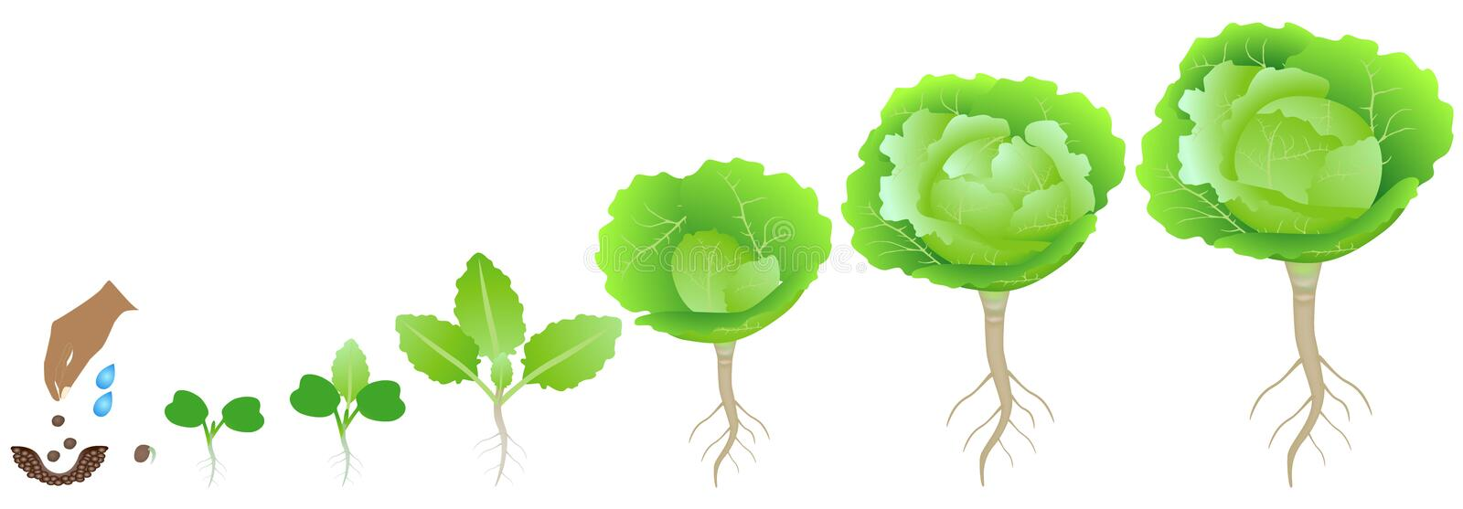 Cycle of growth of a cabbage plant on a white background. royalty free illustration
