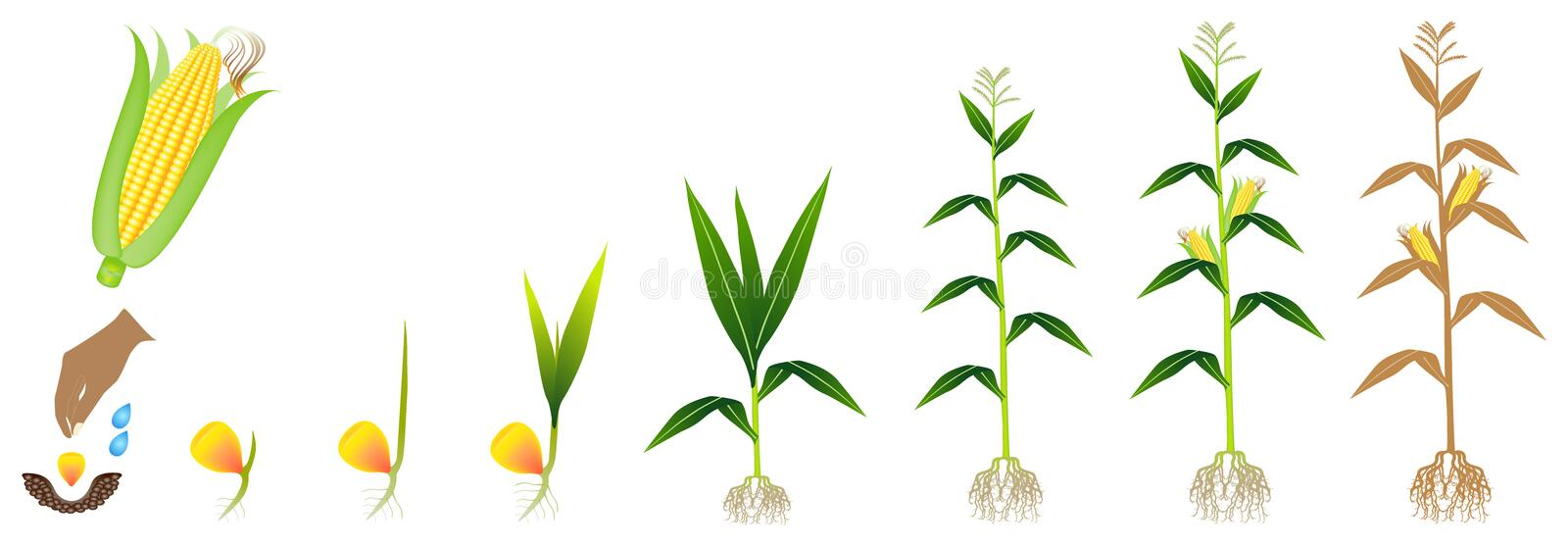 Cycle of growth of a corn plant on a white background. stock photo