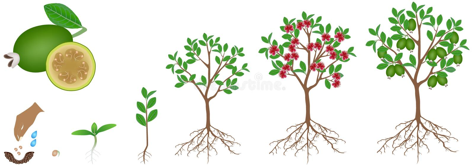 Cycle of growth of a feijoa plant on a white background. royalty free illustration