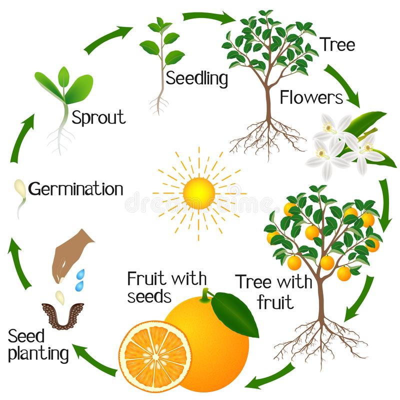 Cycle of growth of an orange tree on a white background. stock illustration