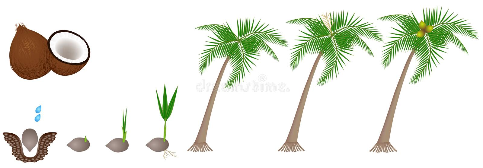 Cycle of growth of a plant of a coconut isolated on a white background. Cycle of growth of a plant of a coconut isolated on a white background, beautiful stock illustration