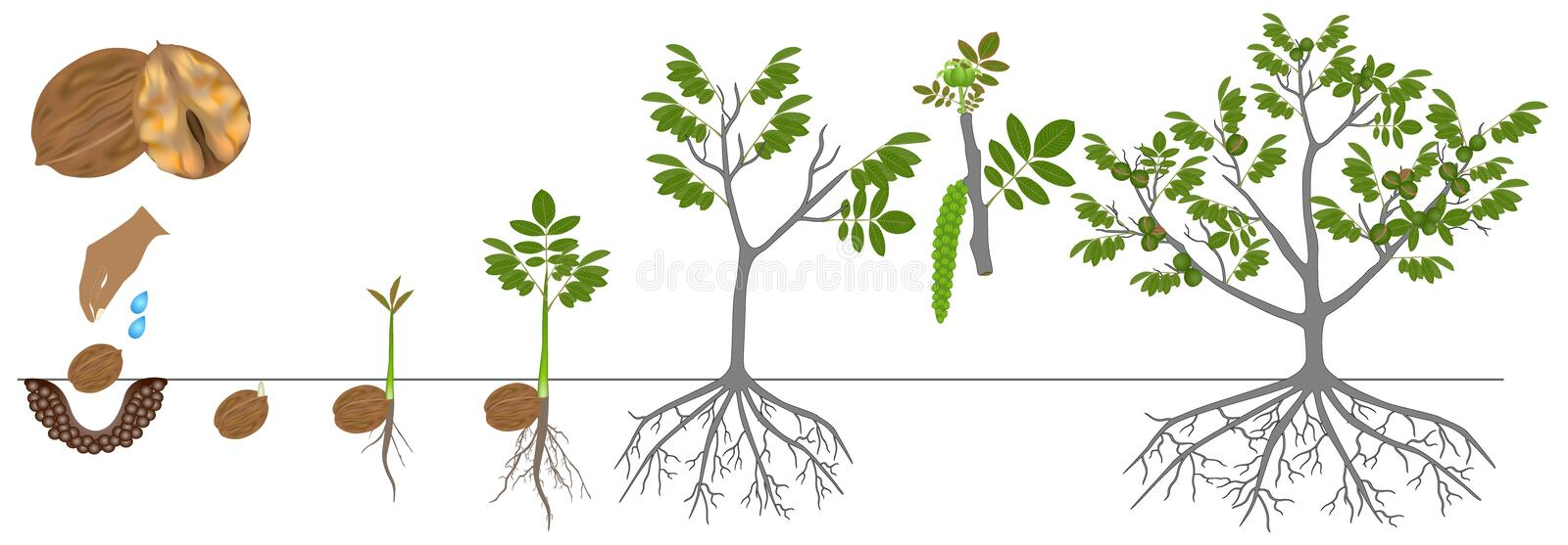 Cycle of growth of a plant of a walnut isolated on a white background. Cycle of growth of a plant of a walnut isolated on a white background, beautiful stock illustration