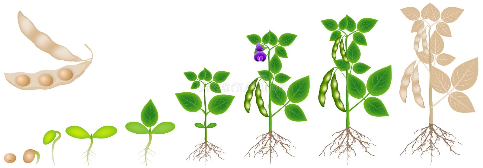 Cycle of growth of soybean plant isolated on white background. stock photo