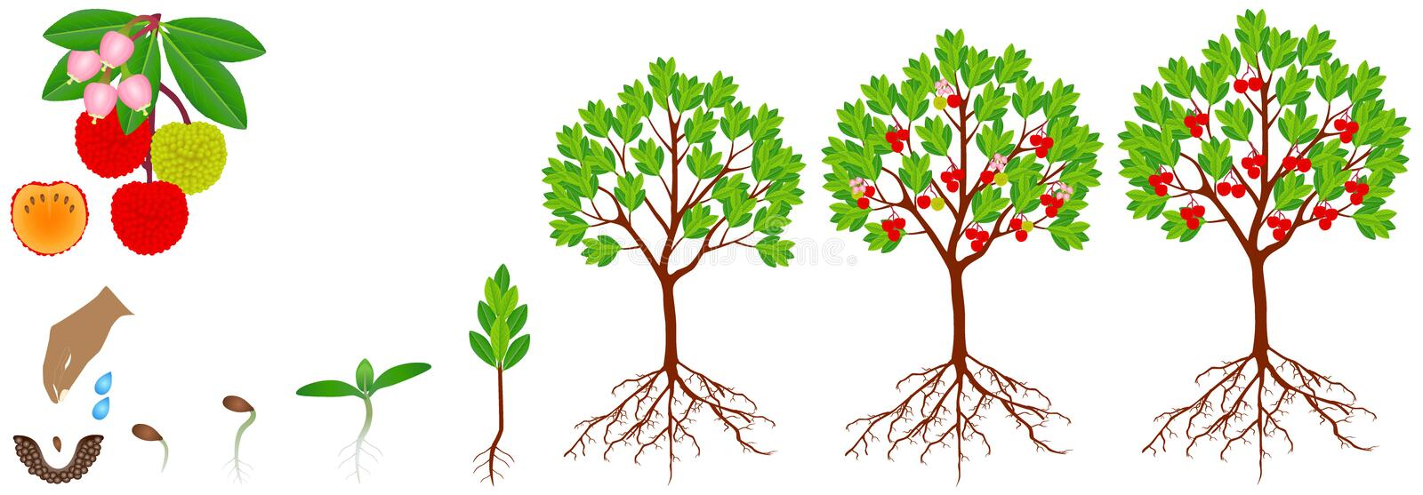 Cycle of growth of strawberry arbutus plant on a white background. royalty free stock photo