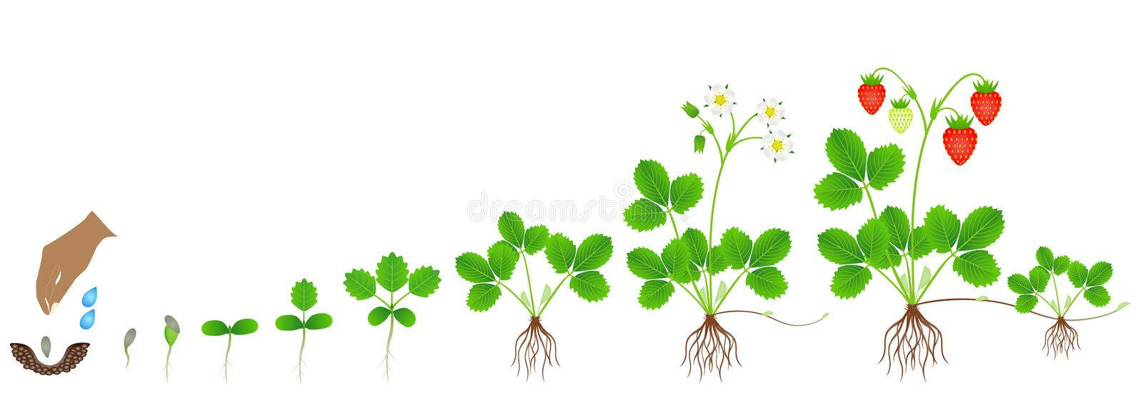 Cycle of growth of a strawberry plant on a white background. Cycle of growth of a strawberry plant on a white background, beautiful illustration vector illustration
