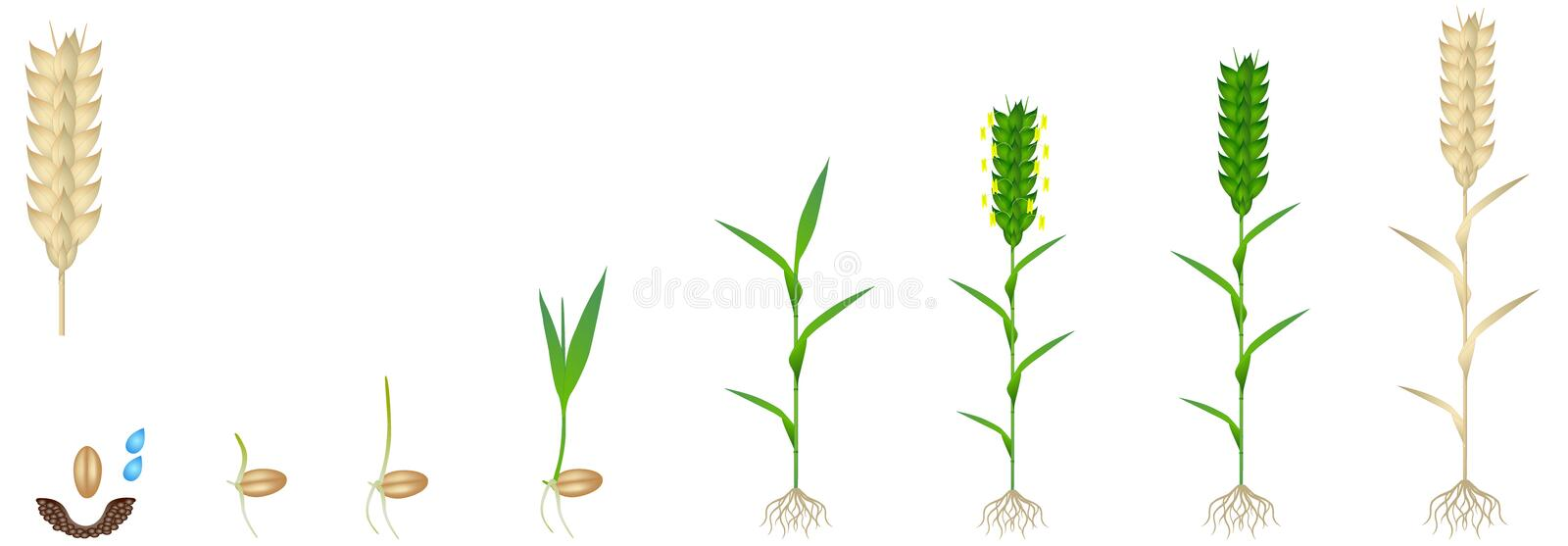 Cycle of growth of a wheat plant on a white background. stock image