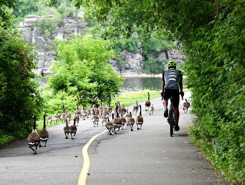 Cycliste dans le casque et équitation de costume de sport en parc Concept de mode de vie de sport Cycliste et canards sur un chem photographie stock libre de droits