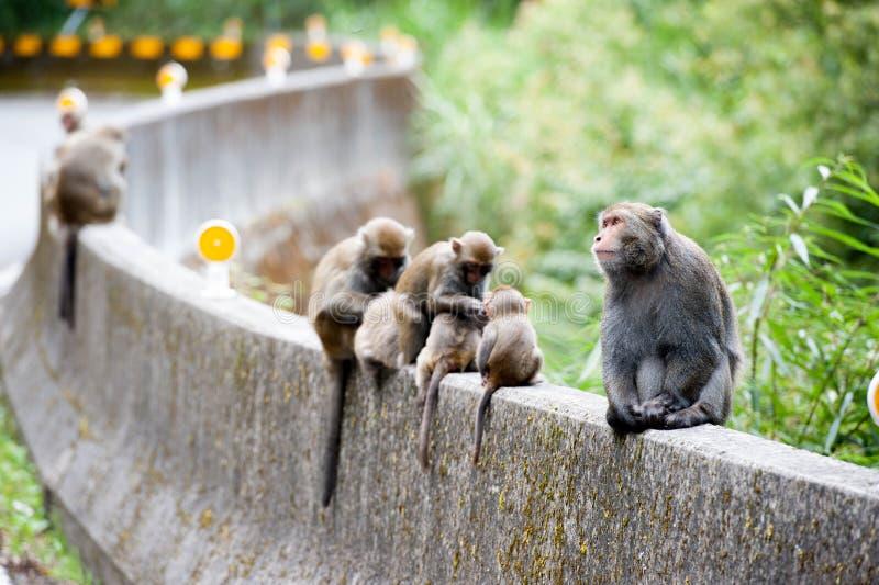 Cyclopis do Macaca fotos de stock