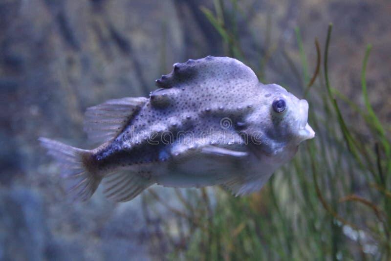 Cyclopterus lumpus Cyclopterus lumpus royalty free stock photography
