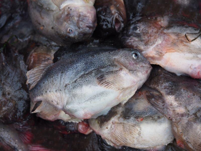 Cyclopterus lumpus hen-fish royalty free stock image