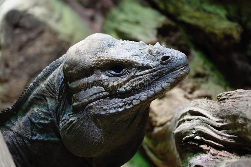 Cyclura nubila - Cuban rock iguana. Detail of head royalty free stock image