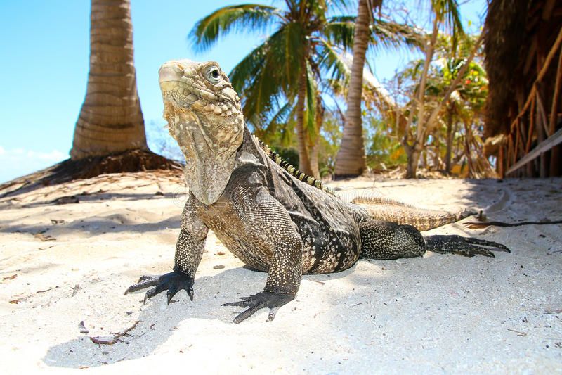 Cyclura nubila, Cuban rock iguana. On the sand beach stock image