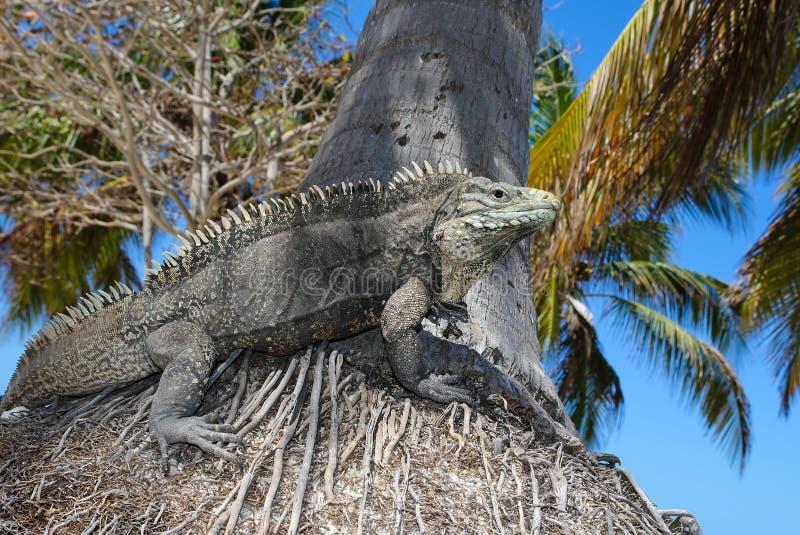 Cyclura nubila, kubańczyk rockowa iguana fotografia royalty free