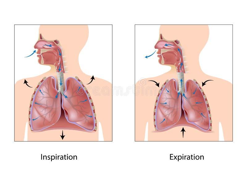 Cyclus van ademhaling vector illustratie