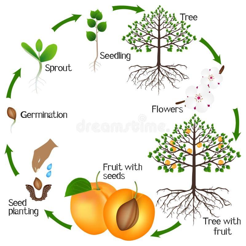 Cyclus van de groei van abrikozenboom op een witte achtergrond stock illustratie