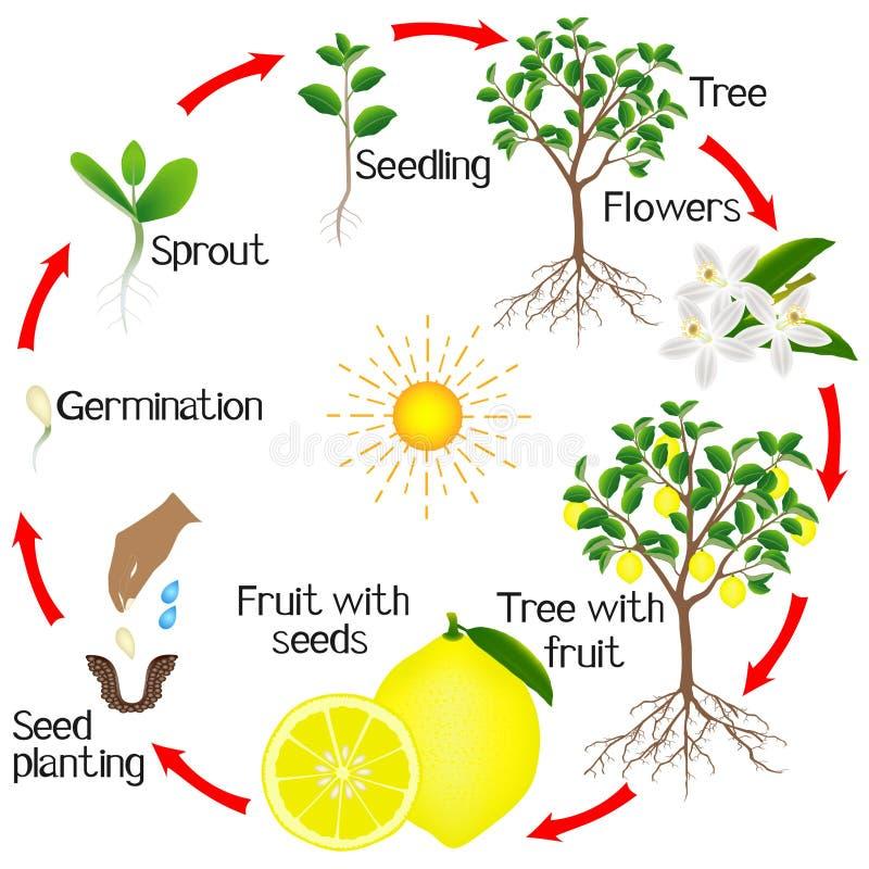 Cyclus van de groei van een citroenboom op een witte achtergrond royalty-vrije illustratie