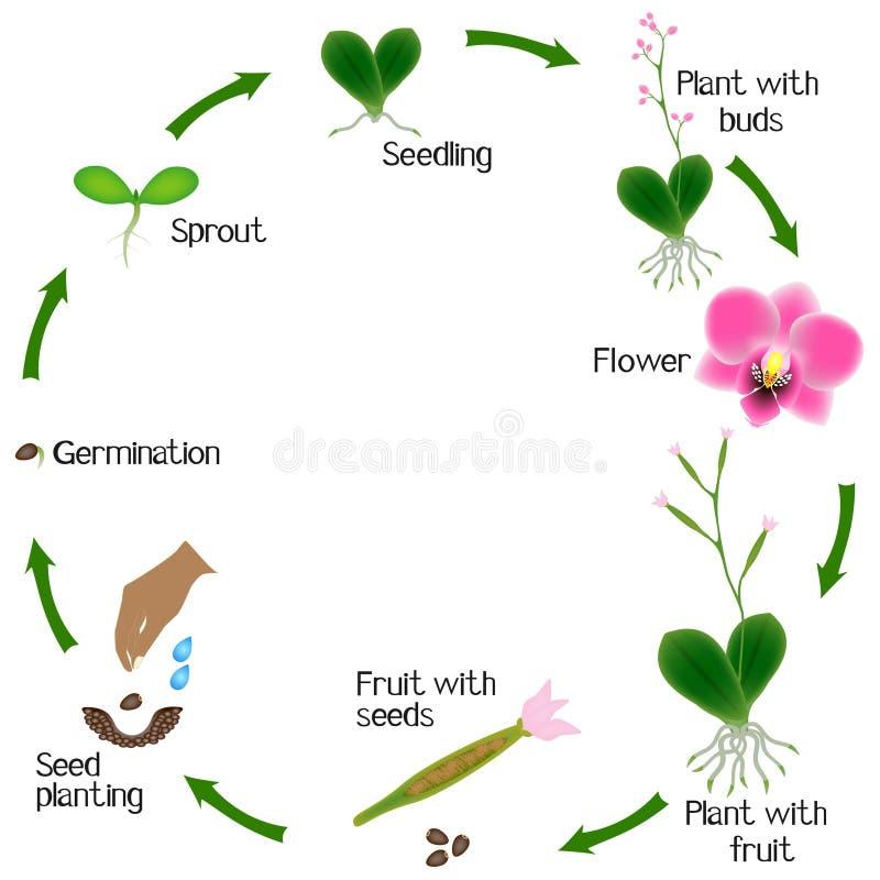 Cyclus van de groei van de orchideeinstallatie op witte achtergrond wordt geïsoleerd die vector illustratie