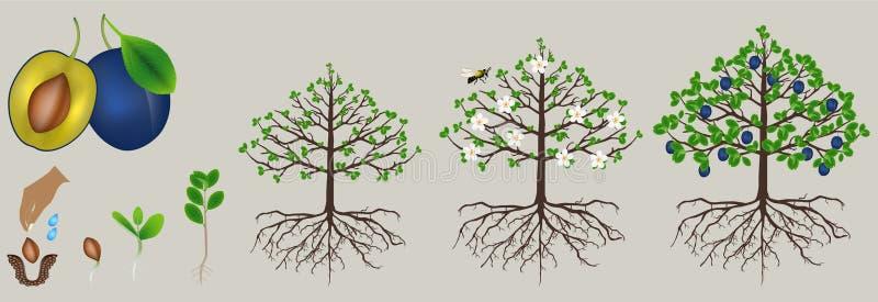 Cyclus van de groei van de pruiminstallatie op witte achtergrond wordt geïsoleerd die vector illustratie
