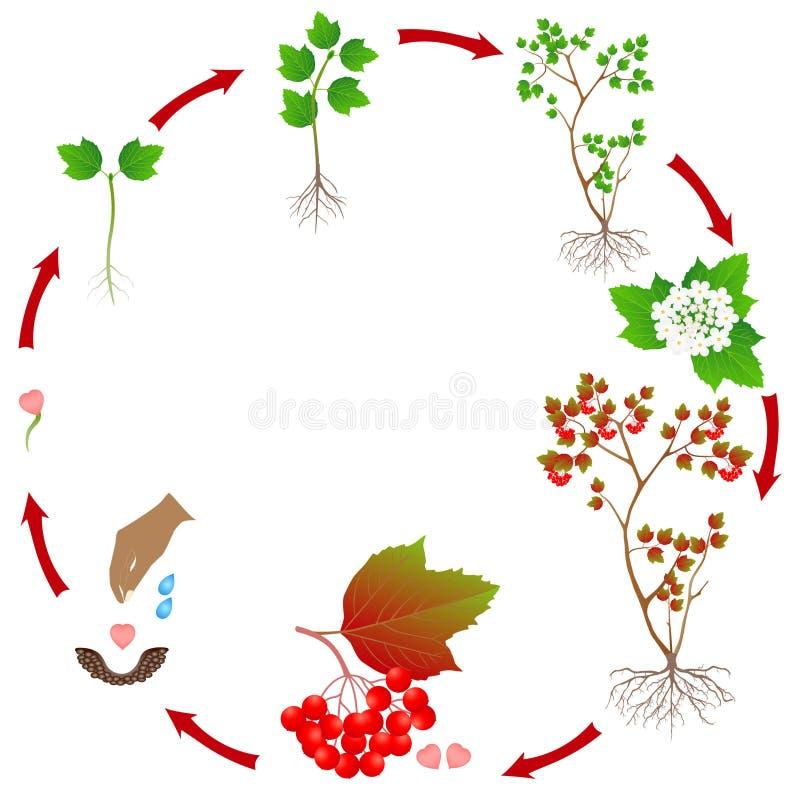 Cyclus van de groei van de viburnuminstallatie op witte achtergrond wordt geïsoleerd die stock illustratie