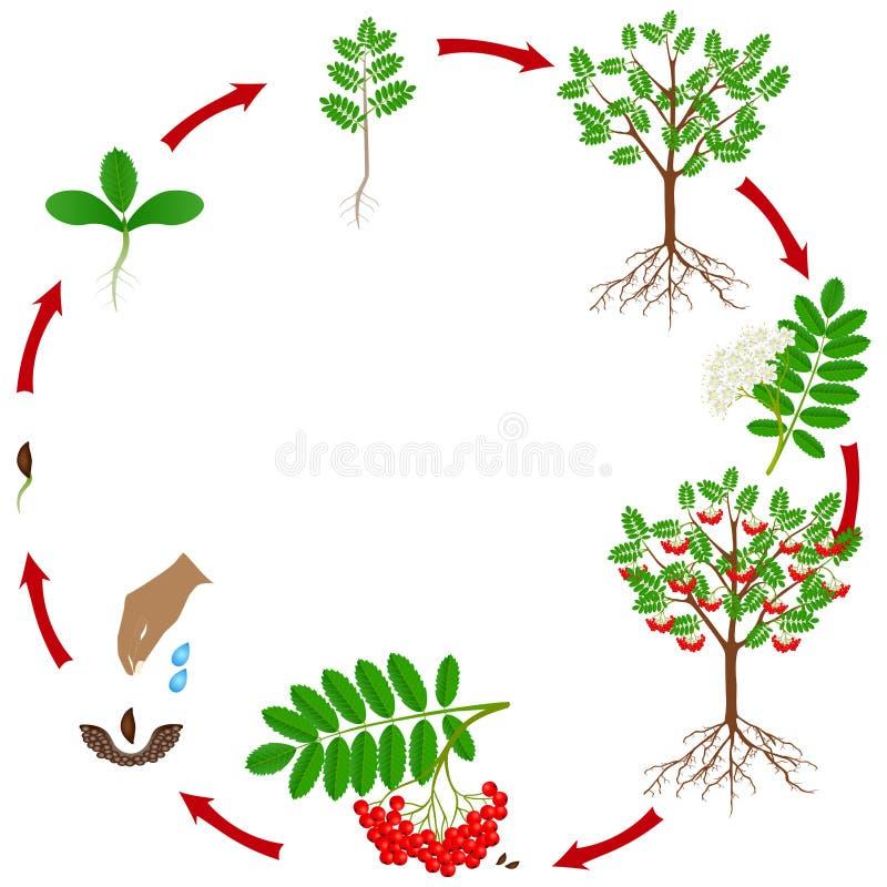 Cyclus van de rode die groei van de lijsterbesseninstallatie op witte achtergrond wordt geïsoleerd royalty-vrije illustratie