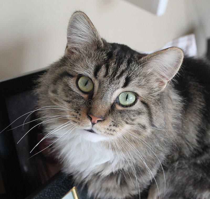 Cycowy kot obrazy royalty free