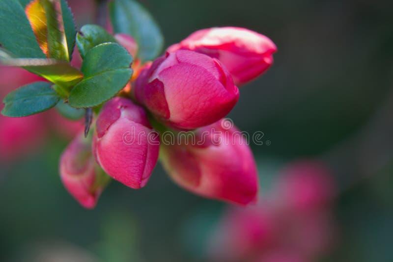 Cydonia oblonga czub kwiatów pączki na gałązce fotografia stock