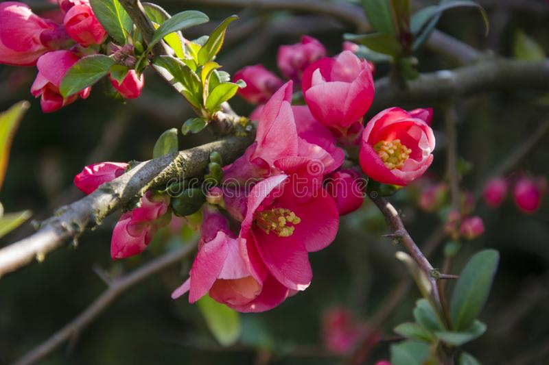 Cydonia oblonga tuft flowers buds on a twig. Cydonia oblonga tuft pink flowers buds on a twig with leaves stock images