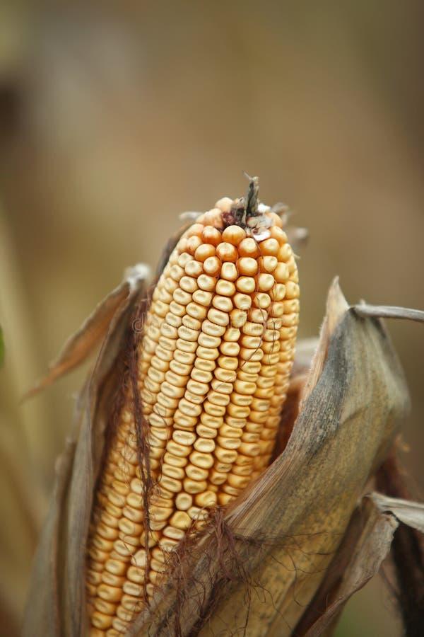 Cyfrowej fotografii tło Kukurydzanego Cob zbliżenie zdjęcie stock
