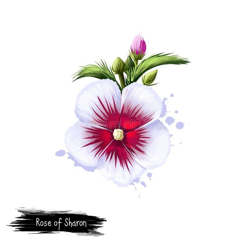 Cyfrowej sztuki ilustracja róża Sharon odizolowywał na bielu Ręka rysujący kwiatonośny krzaka poślubnika syriacus Kolorowy botani royalty ilustracja