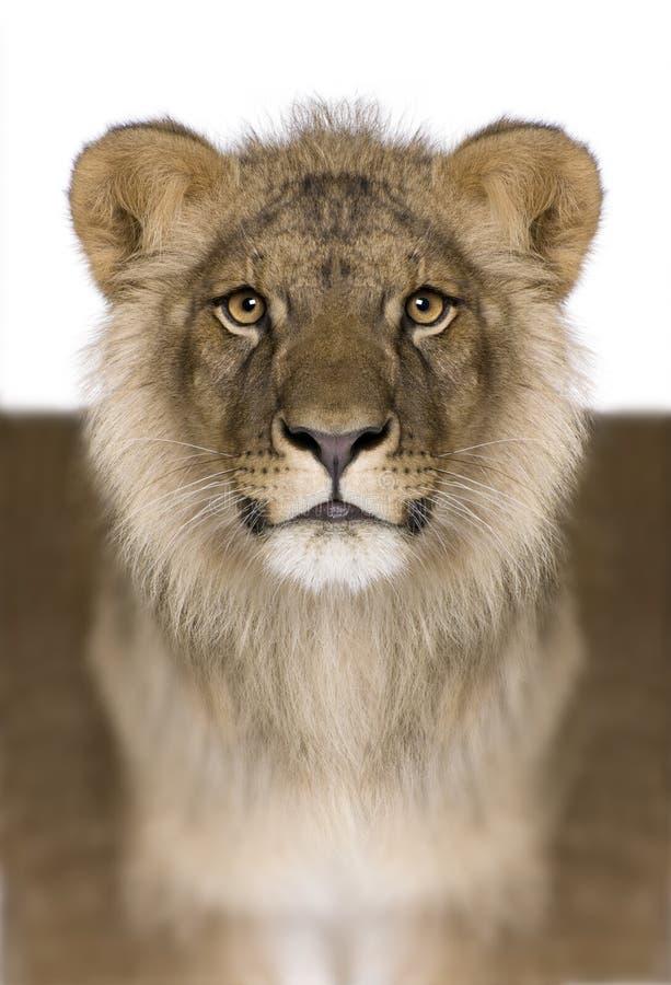 Cyfrowo uwydatniający lew, Panthera Leo, 9 miesięcy starych zdjęcie royalty free