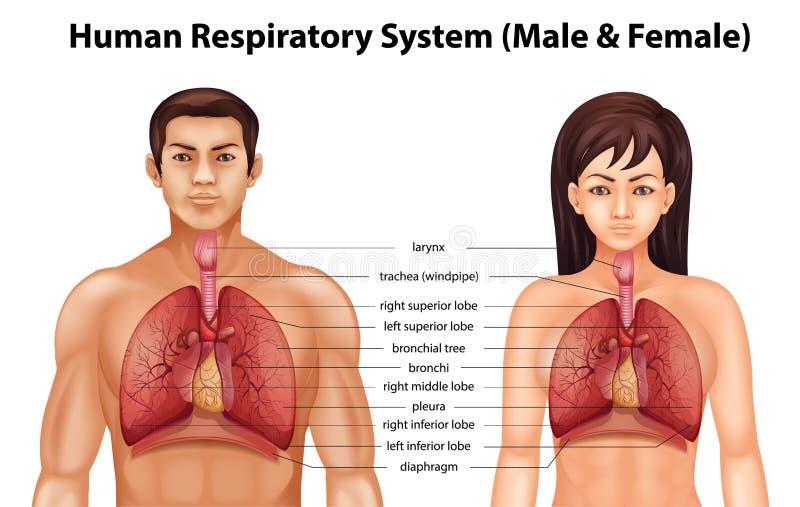 cyfrowy ludzki ilustracyjny oddechowy system ilustracji