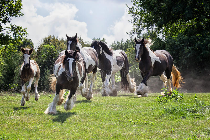 Cyganu Vanner konie obrazy royalty free