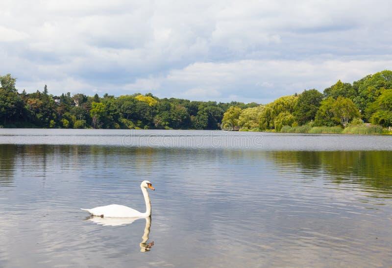 Cygne à un lac photographie stock libre de droits
