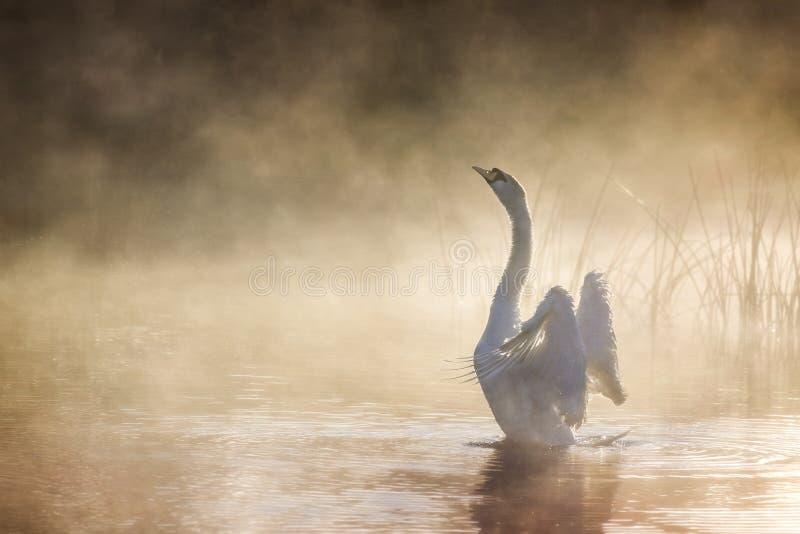 Cygne étirant ses ailes sur la rivière Avon un matin brumeux images stock
