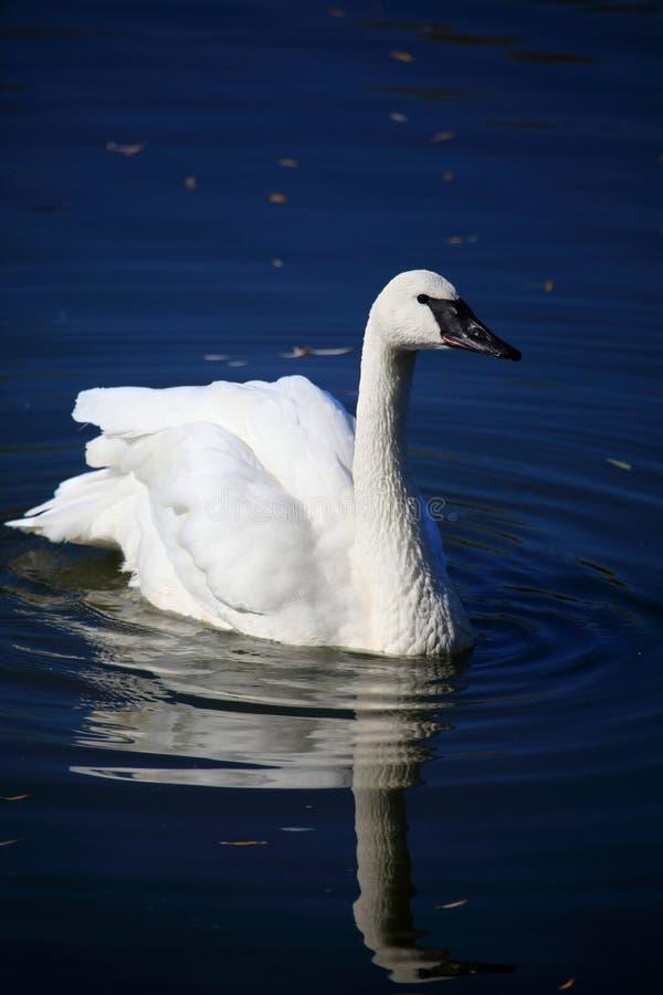 Download Cygne photo stock. Image du cygne, bleu, blanc, animal - 21799912