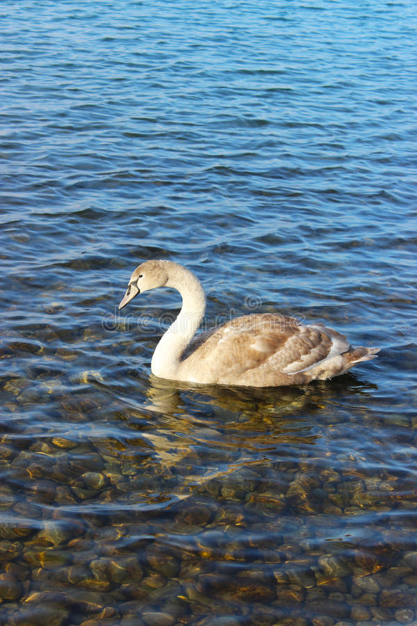 Download Cygne photo stock. Image du clear, blanc, oiseau, cygne - 56489322