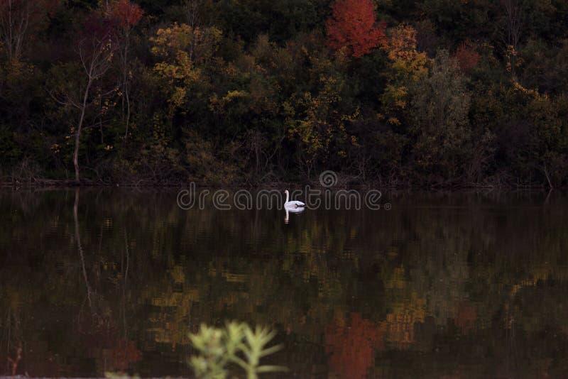 Cygne au beau milieu des couleurs image stock