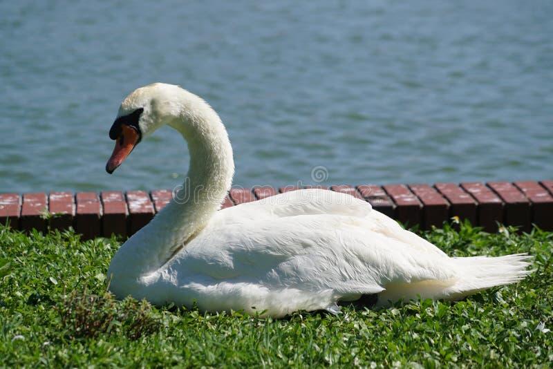 Cygne au lac en Floride photos stock