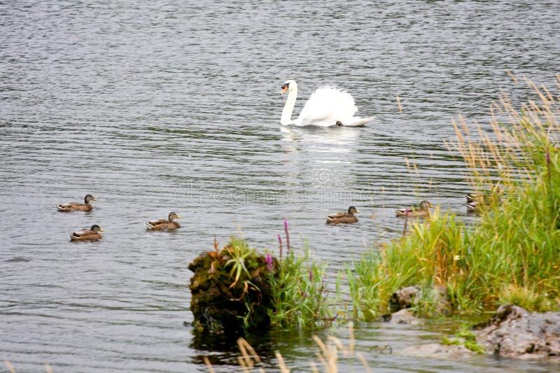 Cygne avec des canards sur un lac en Irlande photographie stock libre de droits