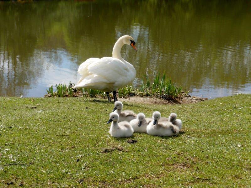 Cygne avec du temps de cinq jeunes cygnes au printemps photos stock