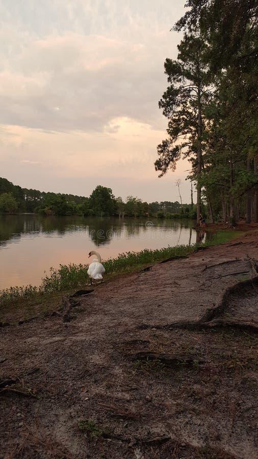 Cygne avec le lac au crépuscule photos libres de droits