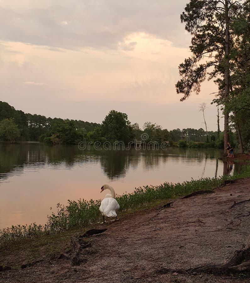 Cygne avec le lac au crépuscule photos stock