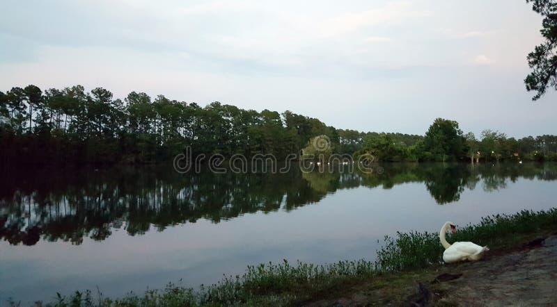 Cygne avec le lac au crépuscule images libres de droits