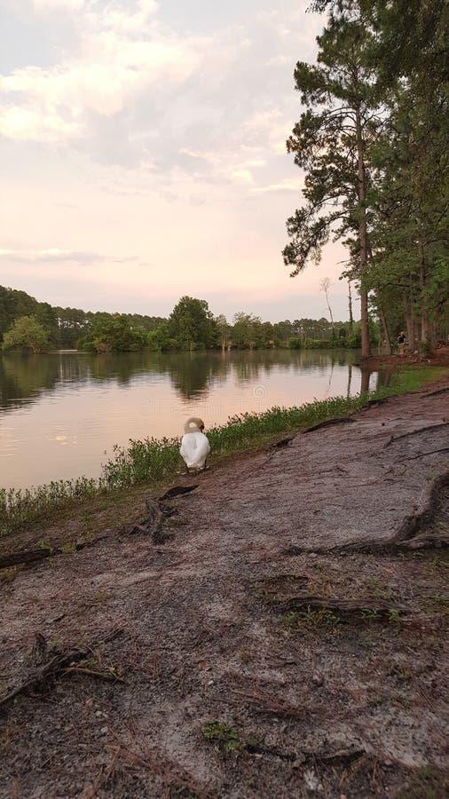 Cygne avec le lac au crépuscule image stock