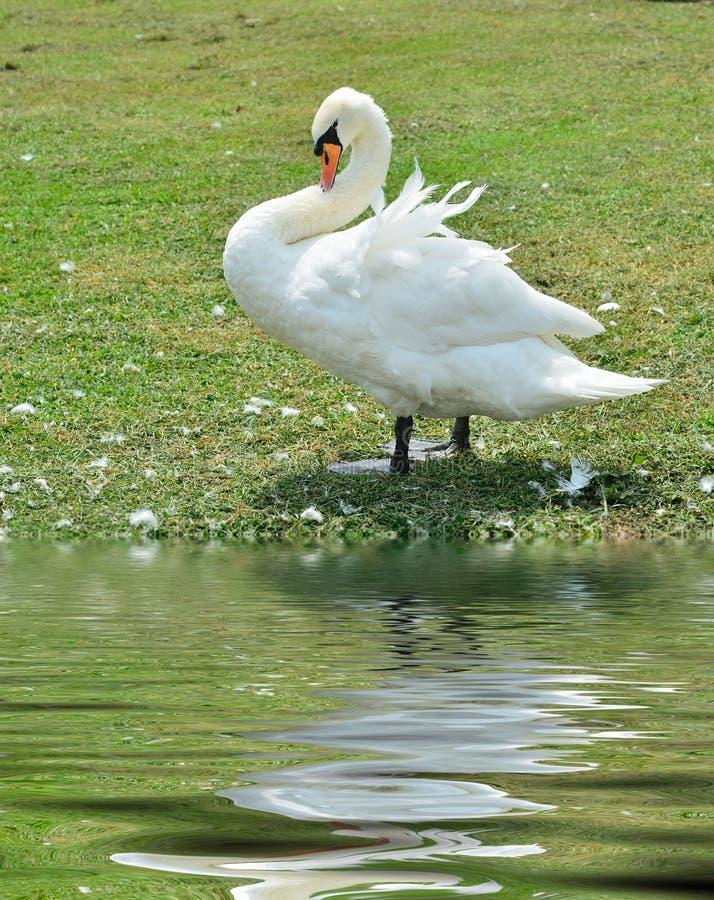 Download Cygne blanc photo stock. Image du clavette, fleuve, nature - 45359988