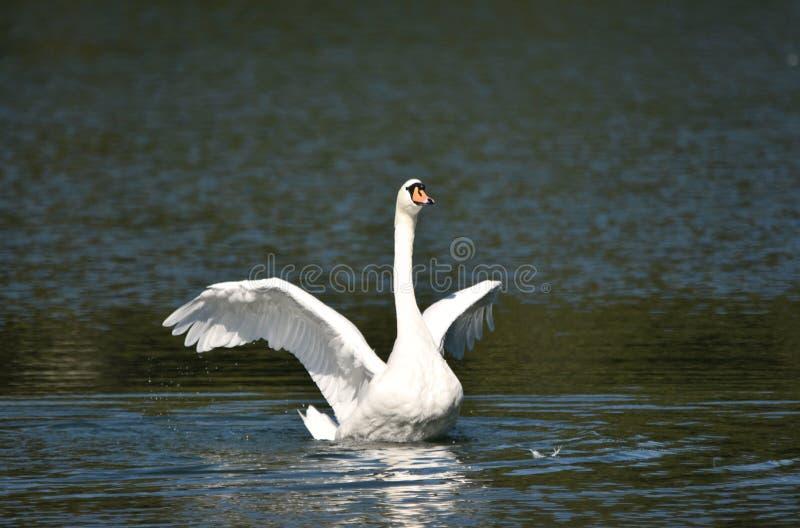 Cygne blanc agitant ses ailes photo libre de droits